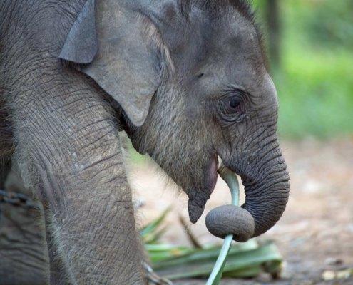 Starving elephants Thailand