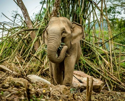 Starving elephants in Thailand