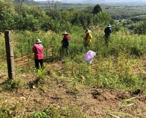 rice picking at Ban Ton Sae