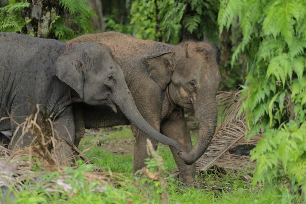 suction eating by elephants