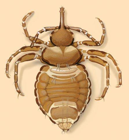elephant lice