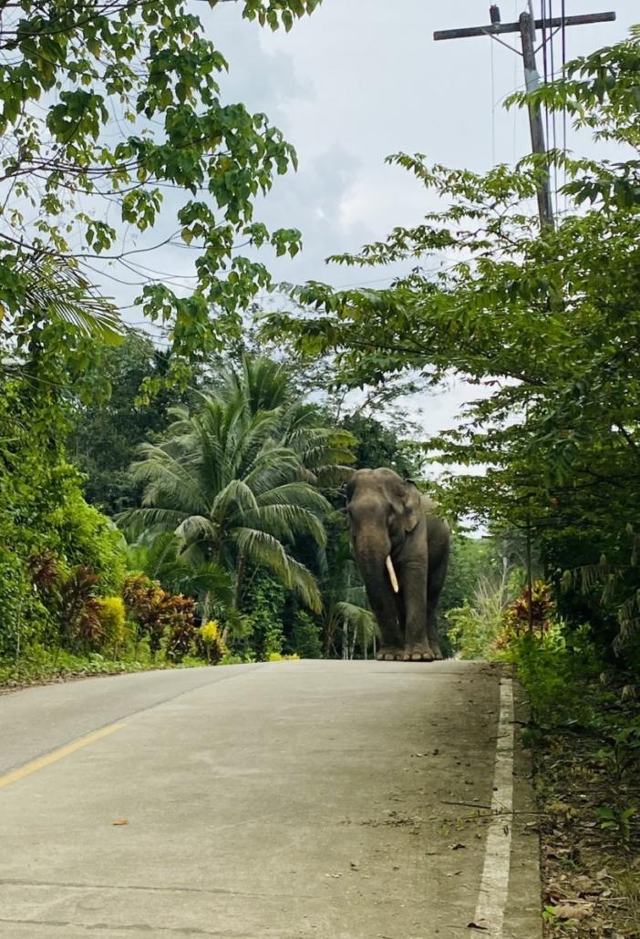 elephant in trouble